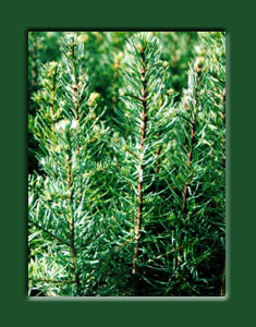Noble Fir Seedling